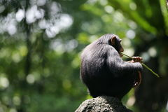 Chimpanzee. A shot of an African Chimpanzee in the wild royalty free stock image