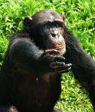 The chimpanzee stock images