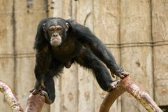 Chimpanzee. With an angry expression Stock Image