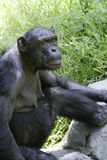 Chimpanzee 5 Stock Image