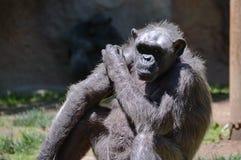 Free Chimpanzee Royalty Free Stock Photos - 50151518