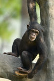 Chimpanzee in tree Stock Images