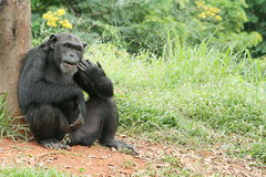 CHIMPANZEE. Animal that believe in that , be origin base of a human Royalty Free Stock Image