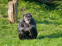 Chimpanzee. A chimpanzee sitting on the grass Royalty Free Stock Images
