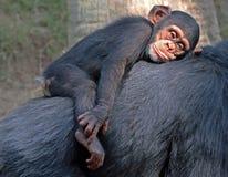Chimpanzee Royalty Free Stock Image