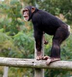 Chimpanzee. Standing on top of rail Royalty Free Stock Image