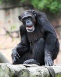 Chimpanzee. Older Chimpanzee sitting on top of rail Royalty Free Stock Photo