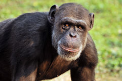Chimpanzee. Closeup of chimpanzee in wild stock photos