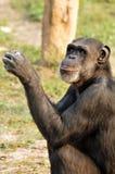 Chimpanzee. Closeup of chimpanzee in wild stock image