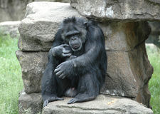 Chimpanzee Royalty Free Stock Image