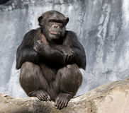 Chimpanzee. A chimpanzee sits alone on a rock with arms folded and with a thoughtful expression on face stock image