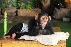 Chimpanzee is acting for portrait. In the zoo Royalty Free Stock Photos