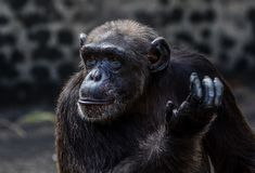 A chimpanzee action. A chimpanzee is looking at aside royalty free stock photography