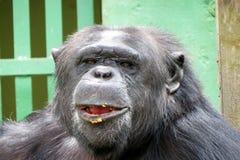 Chimpanzee - African monkey Royalty Free Stock Photos