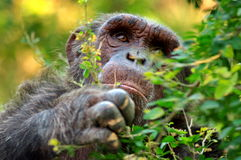 Chimpanzee. Animals chimpanzee happy Smile in the zoo stock photo