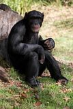 Chimpanzee Ape. Big black chimpanzee resting against a tree stump stock photo