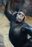 Chimpanzee. APE chimpanzee is an amazing representative of the animal world royalty free stock photos