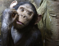 Chimpanzee. APE chimpanzee is an amazing representative of the animal world stock photos