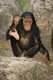Chimpanzee baby Stock Photography