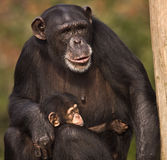 Chimpanzee with Baby. Chimpanzee mother holding baby chimp Stock Photos