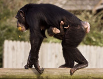Chimpanzee with Baby. Chimpanzee mother carrying baby chimp Stock Images