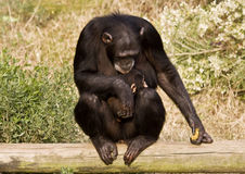 Chimpanzee with Baby. Chimpanzee mother holding baby chimp stock images