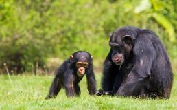Chimpanzee baby. A black chimpanzee resting on the green grass with its little baby chimp hanging around Stock Images