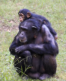 Chimpanzee. Baby chimp and parent chimp together Stock Image