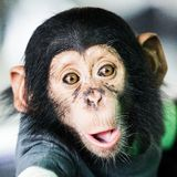 Chimpanzee baby Stock Photos