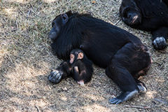 Chimpanzee baby with mother sleeps, Africa. Royalty Free Stock Photo