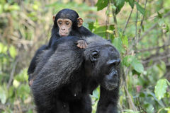 Chimpanzee with baby. Mother Chimpanzee walking by with carrying young Royalty Free Stock Images