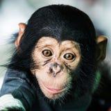 Chimpanzee baby. Smiling happy baby chimpanzee at the zoo stock image