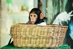 Chimpanzee baby. In a wicker basket Royalty Free Stock Images