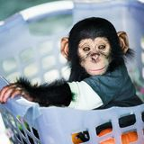 Chimpanzee baby Royalty Free Stock Images