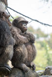 Chimpanzee, Bangkok, Thailand Stock Photos