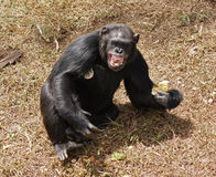 Chimpanzee baring teeth. Sunny outdoor shot in Uganda (Africa) showing a chimpanzee sitting on brown grassy ground while eating with bare teeth stock images