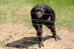 Chimpanzee behind bars. Rescued chimpanzee in Jane Goodall Chimp Eden refuge royalty free stock images