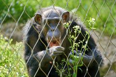 Chimpanzee behind a fence. A chimpanzee behind a fence in the zoo royalty free stock image