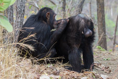 Chimpanzee being groomed. Male chimp being groomed by one of his allies Royalty Free Stock Photo