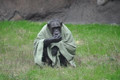 Chimpanzee in a blanket. At the Houston Zoo Royalty Free Stock Photo