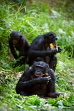 Chimpanzee Bonobo. royalty free stock photos
