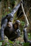 Chimpanzee Bonobo with a cub. Stock Photos