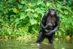 The chimpanzee Bonobo with cub in the water . At a short distance, close up. The Bonobo ( Pan paniscus), called the pygmy chimpanz Royalty Free Stock Image
