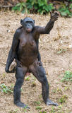 Chimpanzee Bonobo mother with stone and child standing on her legs and hand stock photos