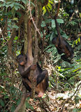Chimpanzee Bonobo ( Pan paniscus) and cub Royalty Free Stock Photo