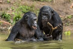The chimpanzee Bonobo in the water. Royalty Free Stock Image