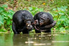 The chimpanzee Bonobo in the water. At a short distance, close up. The Bonobo ( Pan paniscus), called the pygmy chimpanzee. Democr Royalty Free Stock Photos