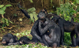 Chimpanzee Bonobos family  sits  on a grass.  The Bonobo ( Pan paniscus) Stock Photo