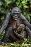 Chimpanzee Bonobos family  sits  on a grass.  The Bonobo ( Pan paniscus) Stock Photos