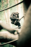 Chimpanzee on Branch. Chimpanzee Sitting on a Branch royalty free stock photos